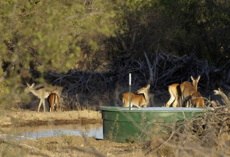 Image: A small herd of white tail deer at a watering hole
