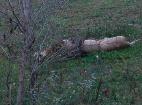 Image: A dead lion near Zanesville, Ohio