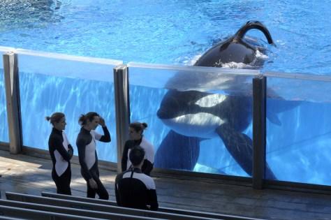 Image: Killer whale Tilikum