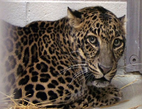 Image: A captured leopard at Columbus Zoo
