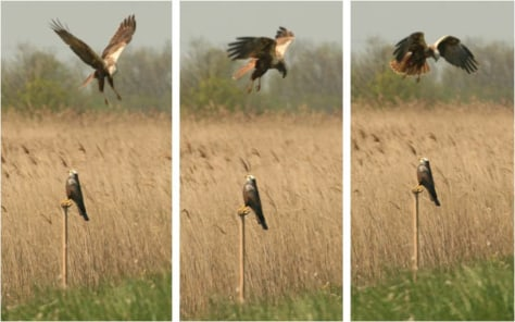 Image: Male marsh harriers respond to decoys