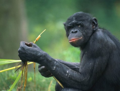 Image: Chimp
