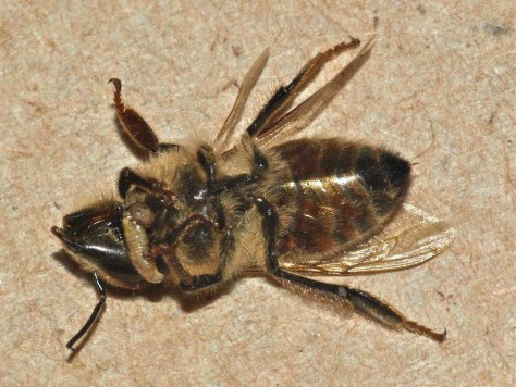 Image: Larvae crawls out of a dead honeybee