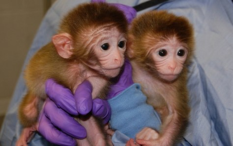 Image: Two of the world's first chimeric primates