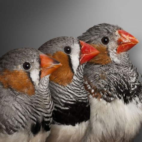 Image: Finches
