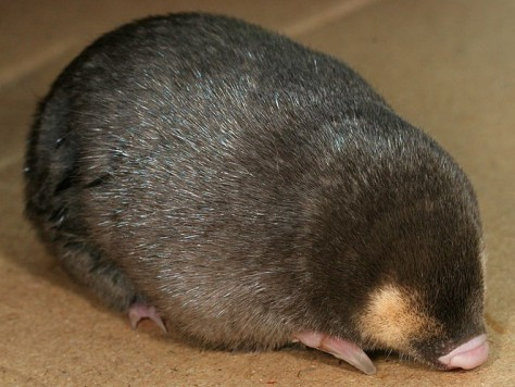 Image: Cape golden mole