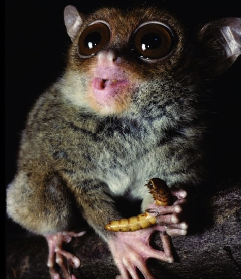 Image: Philippine tarsier