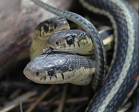 Image: Garter snake