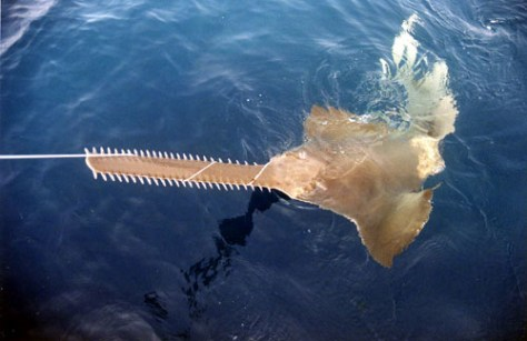 Image: Smalltooth sawfish