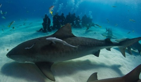 Image: Tiger shark