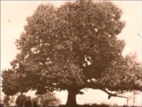 Image: Chestnut tree
