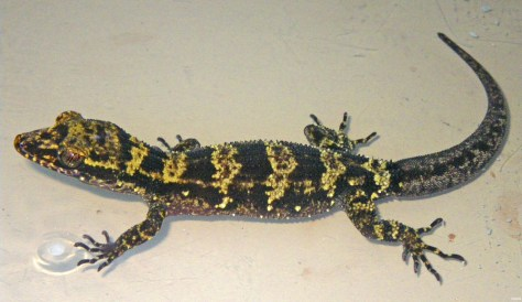 Image: Newly discovered bumblee gecko
