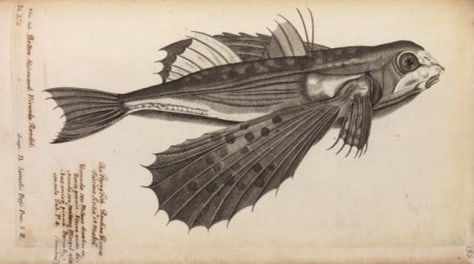 Image: Engraving of a flying fish