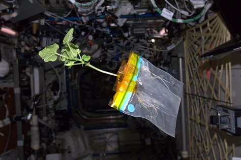 Image: Zucchini plant aboard space station