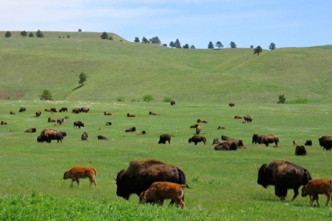 Image: Buffalo roam in Yellowstone National Park