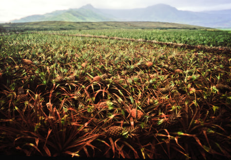 Image: Field of pineapples on Lanai