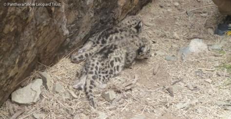 Image: Snow leopard cub's den