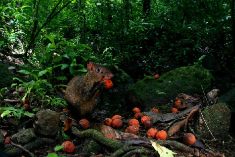 Image: An agouti nibbles on orange fruit