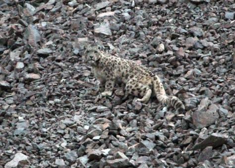 Image: Snow leopard