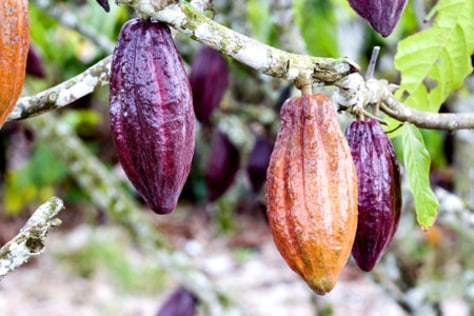 Image: Cacao in northern Yucatan