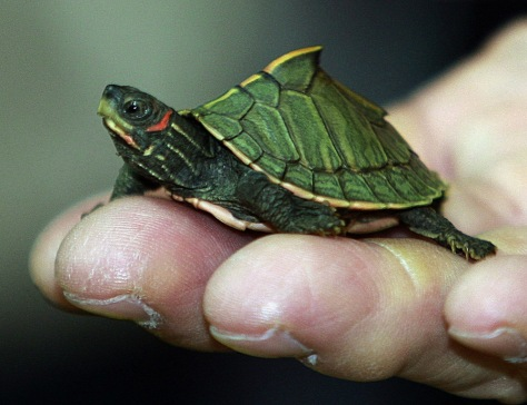 Image: Young Indian roofed turtle