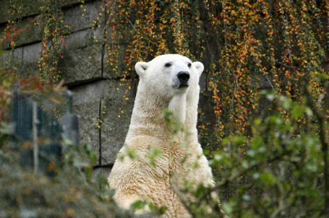 Image: Lars, a polar bear
