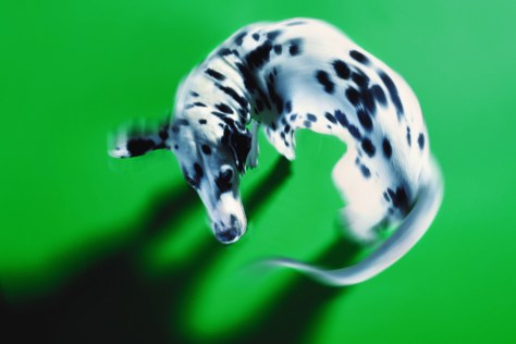 Image: Tail-chasing Dalmation