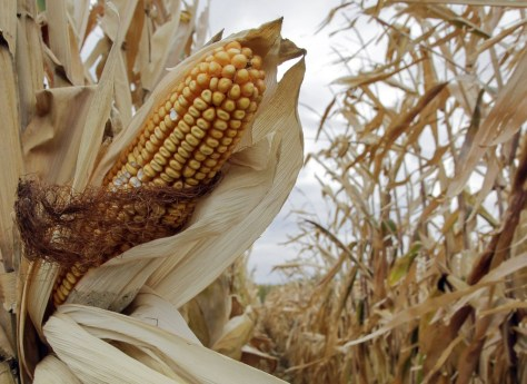 Image: Unharvested corn