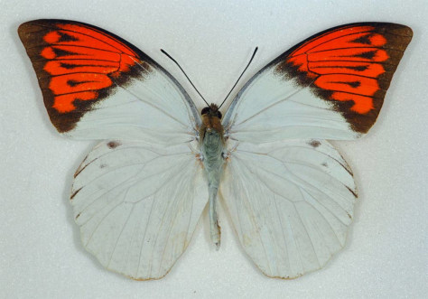 Image: Hebomoia glaucippe butterfly