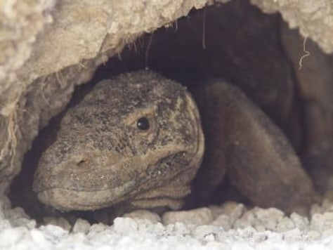 Image: Female Komodo dragon
