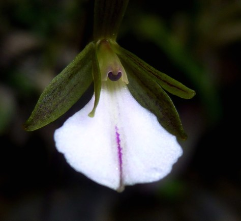 Two new orchid species found technology science science image tetramicra riparia a new orchid species mightylinksfo