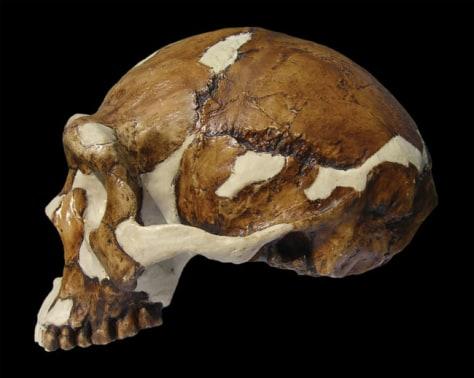Image: Homo erectus skull