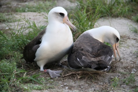 Image: Laysan albatross named Wisdom, left, and mate