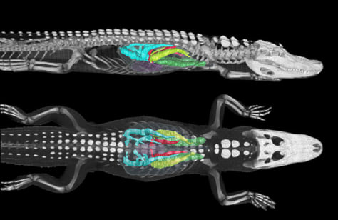 Image: CT image of alligator