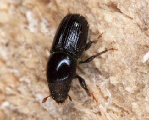 Imaage: Bark beetle