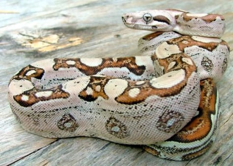 Image: Boa constrictor