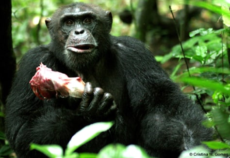 Image: Adult male chimpanzee, holding the rib case of a red colobus monkey.