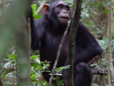 Image: Chimp with stick