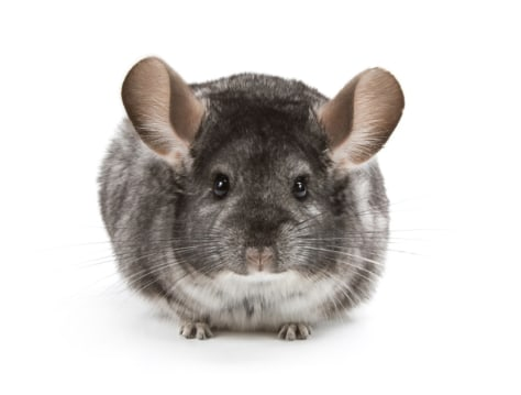 Image: Chinchilla