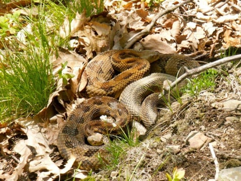 Image: Pregnant female timber rattlesnakes cluster together at birthing rookeries in New York state.