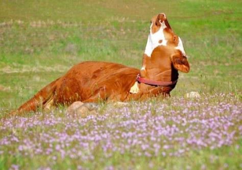 Image: Cow