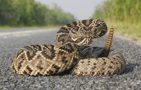 Image: An eastern diamond rattlesnake