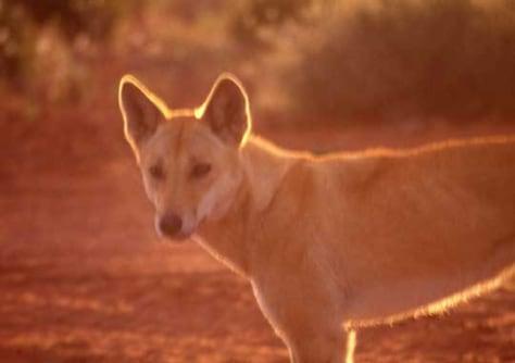 Image: Dingo