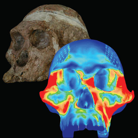 Image: Illustration shows the skull of Australopithecus africanus, an extinct human.