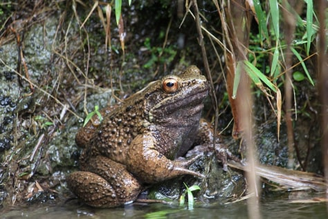 The Otton frog is native to southern Japan's Amami islands.