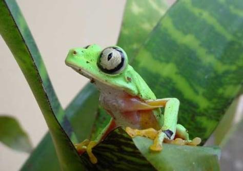 Image: Hylomantis lemur frog