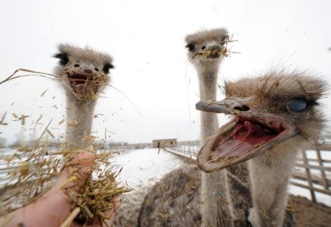 Image:Ostrich farm