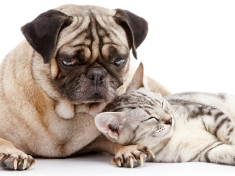 Image: cat sleeps as pug watches