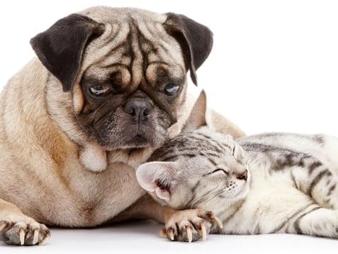 Pug dog and cat