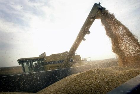 Image: Corn